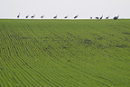 Stop for a group of Common Crane in a field of wheat France (Common Crane)