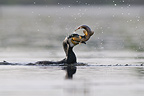 Great Cormorant holding a Tench in its beak France (Great Cormorant)