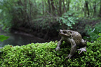 Common toad in the Ried Alsace France (European toad)