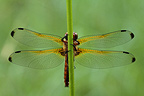 Dragonfly in the immature male fawn Ried Alsace France
