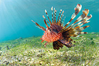 Devil Firefish swimming near seagrass, Mayotte, Comoro Islands, Indian Ocean