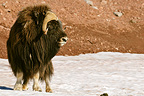 Musk ox standing on the snow Carlsberg Fjord Greenland (Muskox)