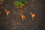 Aerial view of giraffes, Zakouma National Park, Chad, Central Africa