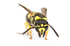 Potter wasp female on white background (wasp)