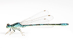 Dainty Damselfly male on white background