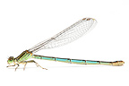 Azure Damselfly female on white background