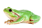 Southern chorus frog on white background