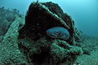 Conger eel on a wreck off the island of Oleron France (Conger eel)