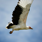 Palm-nut Vulture in flight, Orango-Bijagos NP, Guinea Bissau