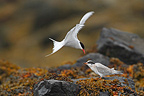 Artic tern feeding its young in Iceland (Artic tern)