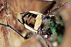 Portrait of Green tiger beetle showing mandibles France