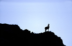 Pyrenean Chamois silhouette on rock Pyrenees France  (Pyrenean chamois)