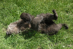 Brown bear cub found dead in a meadow, Port de Salau, Pyrenees, France�. Summer 2004.� (Brown bear)