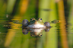 Green frog croaking in the water surface