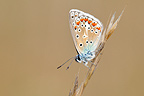 Chalk-hill Blue on a grass Causse Martel in the Lot France (Chalk hill Blue  )