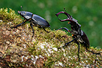 Greater Stag Beetles walking on a branch of Oak France