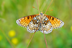 Heath Fritillary placed on two rods grass France (Heath Fritillary)