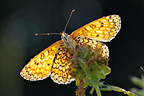 Glanville Fritillary warming morning sun France