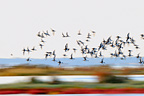 Flying Black-tailed Godwits over Salicorne France (Black-tailed Godwit)