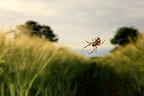 Epeira retort weaving its web between the ears of Barley France (spider)