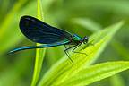 Damselfly on a leaf France
