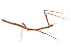 Stick Insect in studio on white background
