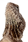 Portrait of a Frilled Lizard in studio on white background (Frilled Lizards)