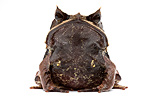 Borneon Horned Frog in studio on white background