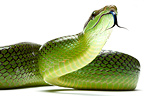 Red-tailde green Ratsnake in studio on white background