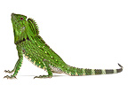Doria's Anglehead Lizard in studio on white background (Peters' Forest Dragon)