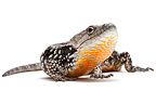 Arboreal alligator lizard in studio on white background