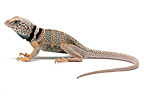 Black-collared Lizard in studio on white background