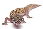 Gecko in studio on white background