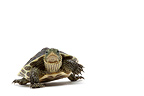 Chinese Stripe-necked Turtle in studio on white background (Chinese Striped-necked Turtle)