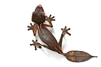 Satanic leaf-tailed gecko in studio on white background