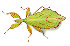 Leaf insect in studio on white background