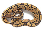 Royal Python 'Orange ghost' in studio on white background