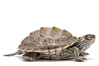 Texas Map Turtle in studio on white background (Texas Map Turtle)
