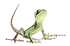 Serrated Basilisk in studio on white background