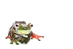 Malayan Flying Frog in studio on white background