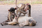 Young baboons playing with a male erection RSA (Chacma Baboon)