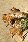 Aerial view of two Giraffes western eating (Nigerian Giraffe)