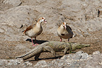 Egyptian geese threatening a young Crocodile Kruger�NP (Egyptian Goose)
