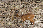 Young chacma baboons looking a young Bushbuck Kruger (Chacma Baboon)