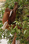 Orangutan taking fish from fishing rod Borneo (Orangutan)