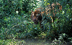 Sumatran tiger near a river in Asia (Sumatran tiger)