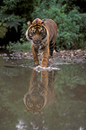 Sumatran tiger enters in a river in Asia (Sumatran tiger)