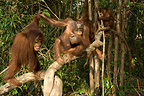 Orang-utans on a branch in a forest in Asia  (Orangutan)