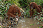 Orangutans catching fish with hand Central Borneo (Orangutan)