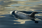 Risso's dolphin at sunset in a silky sea Azores (Risso's dolphin)